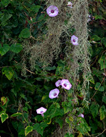 MORNING GLORIES AND SPANISH MOSS