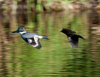 BELTED KINGFISHER AND RED-WINGED BLACKBIRD