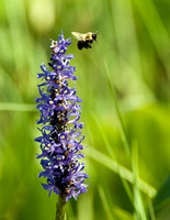 BEE AND PICKEREL WEED FLOWER