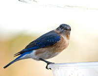 BLUEBIRDS AND FROZEN MEALWORMS