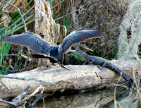 ALLIGATOR AND ANHINGA
