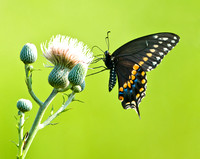 BLACK SWALLOWTAIL ON THISTLE BLOSSOM