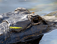 ALLIGATOR AND MAIDENFLY