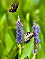 BLACK SWALLOWTAIL, EASTERN TIGER SWALLOWTAIL AND SOUTHERN SKIPPERLING