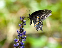 BLACK SWALLOWTAIL ON PICKEREL WEED