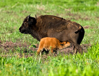 BISON COW AND CALF