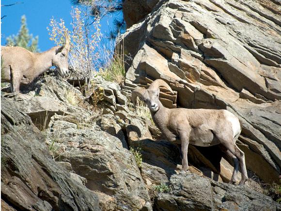 rocky mountain bighorn sheep  rocky mountain national park  estes park